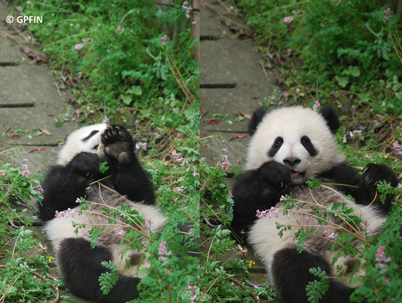 "Giant Panda: ""Picknick im Grünen"" – Video"