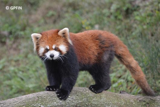 Giant Panda: International Red Panda Day