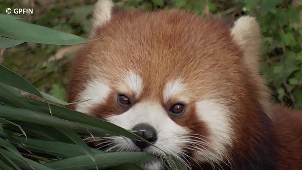16. 09. Roter Panda Tag