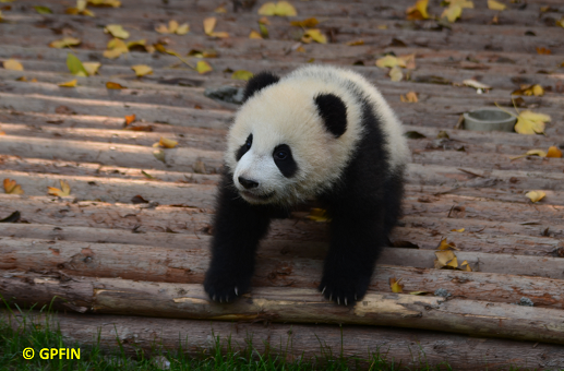 Neuigkeiten: Große Pandas