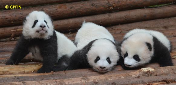 Giant Panda: 44 Geburten