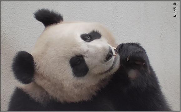 Giant Panda: Da bin ich wieder