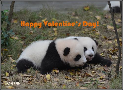Giant Pandas: Valentinstag