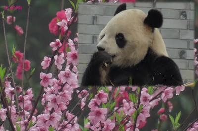 Giant Panda: 牛年