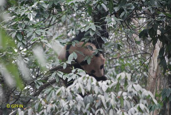 Giant Panda: Tag des Baumes