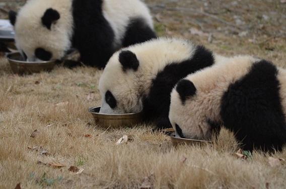 Giant Panda: Mein Festmahl