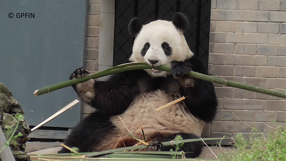 Giant Pandas: Leckere Mahlzeiten – Video