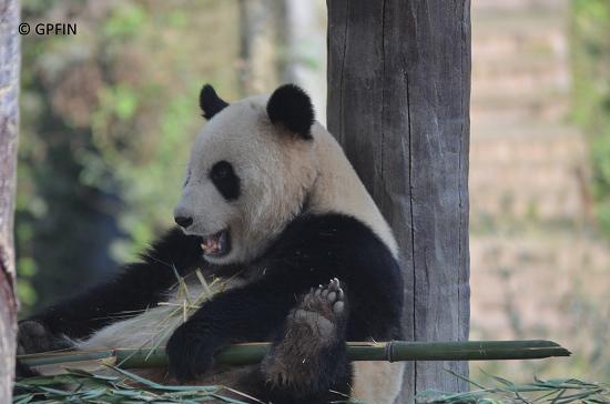Giant Pandas Theater