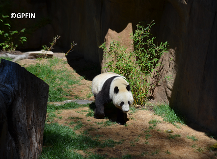 Giant Pandas: Bai Yun & Xiao Li Wu