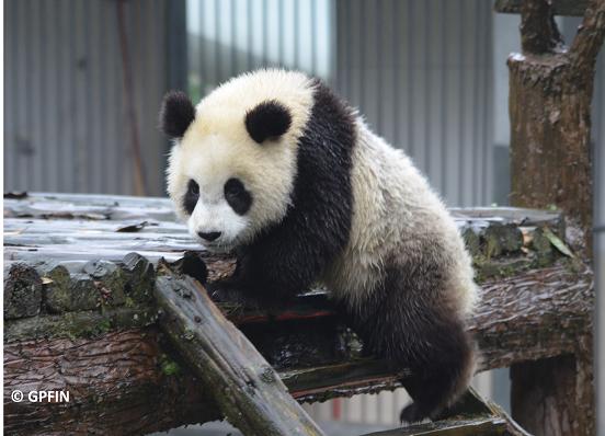 Großer Panda – 4. Lektion – Aktiv im Regen