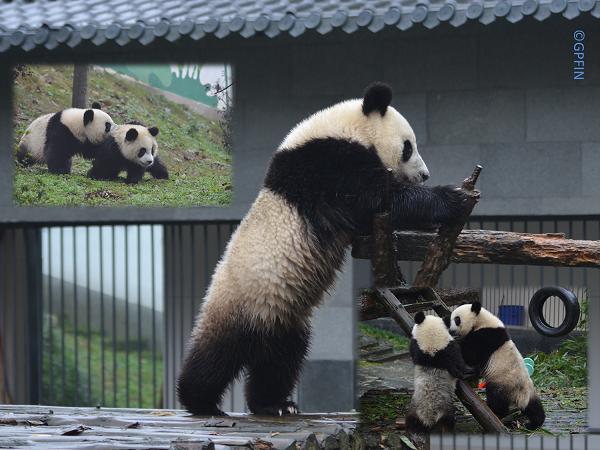 Giant Panda: 16. März Internationaler Giant Panda Tag