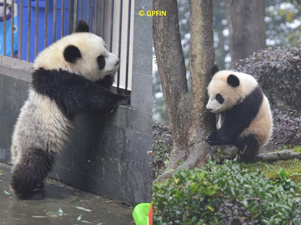 Giant Pandas: Weltkindertag