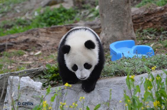 Giant Panda: 05. Juni -Welttag der Umwelt
