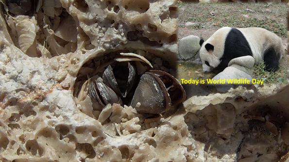 Giant Panda: Today is World Wildlife Day