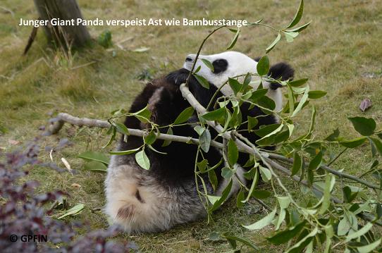 Giant Panda: Ast oder Bambussprössling