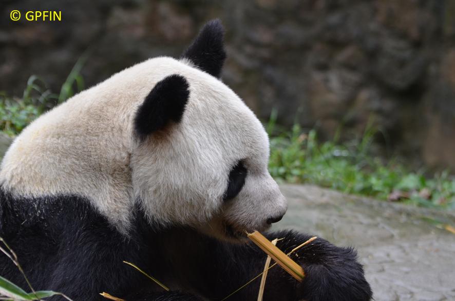 Giant Panda: Yuan Yuan ist da!