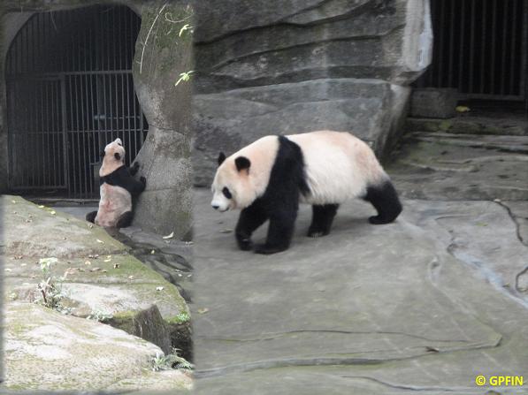 Giant Panda: Reisen & Erinnerungen