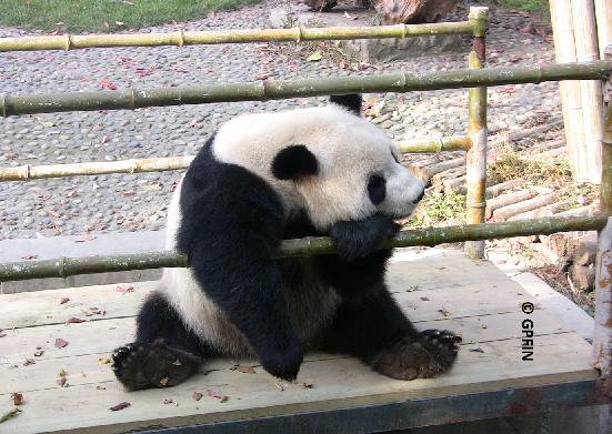Giant Pandas: Hallo Freunde!
