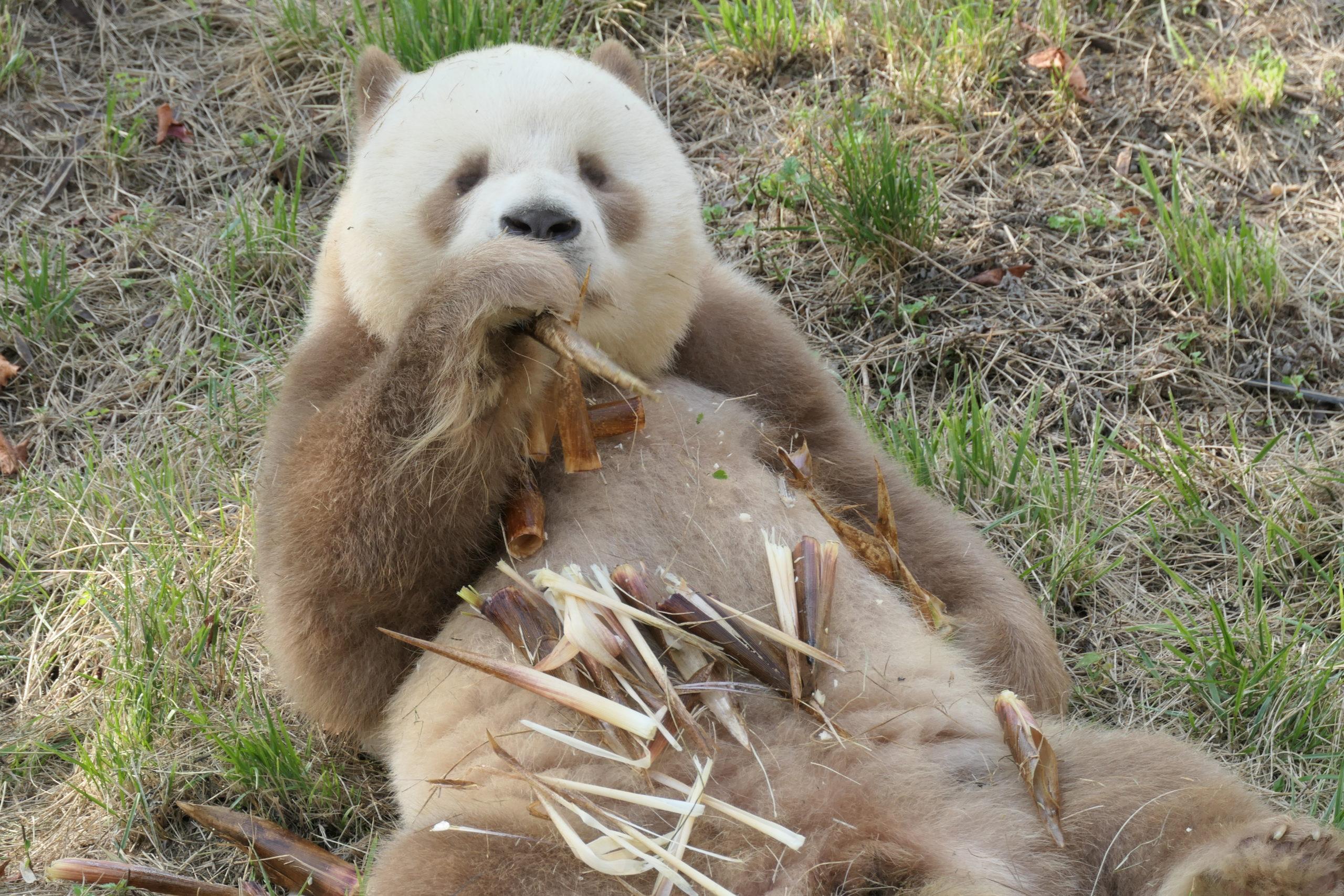 Qi Zai Panda