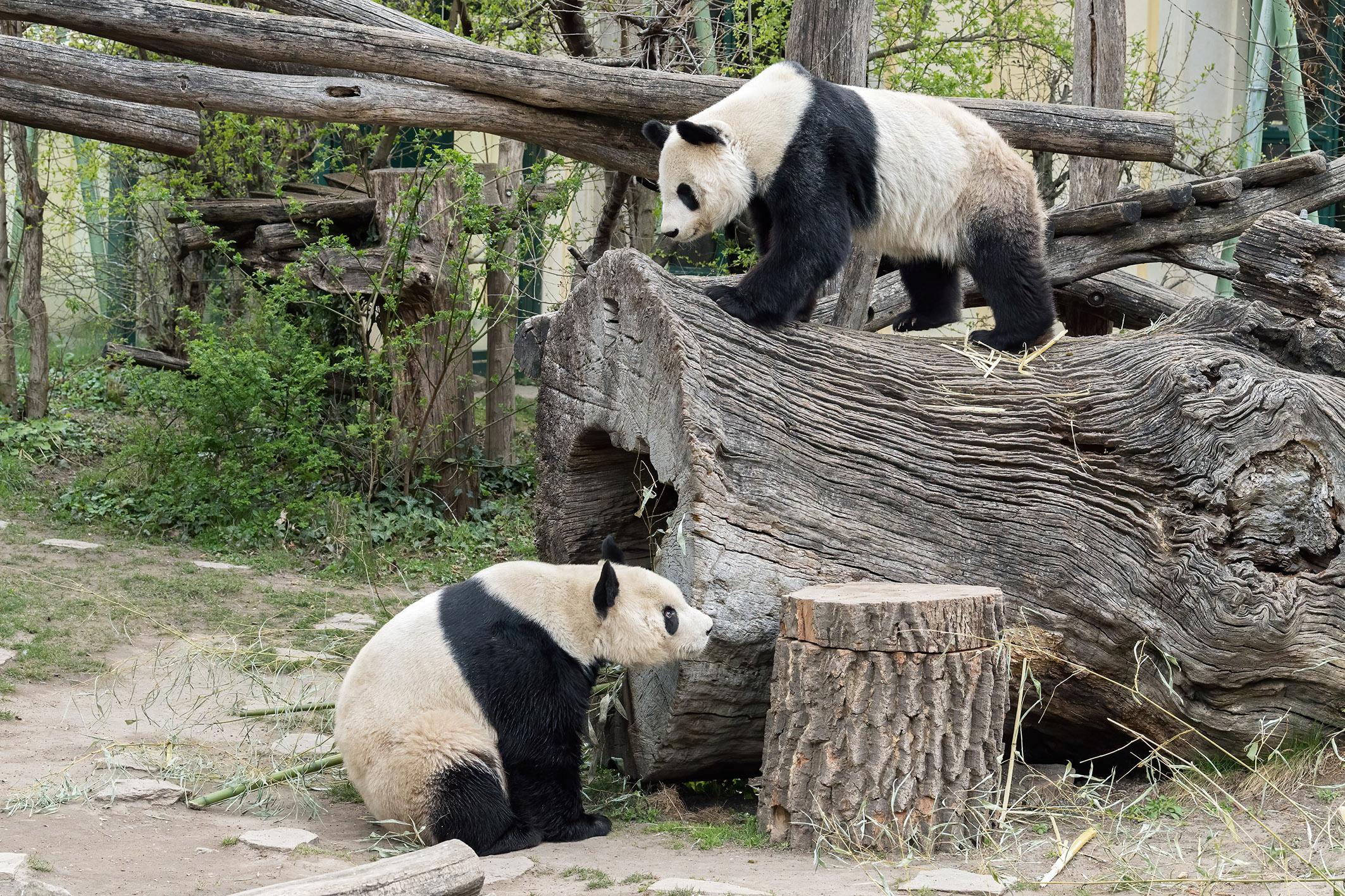 Pandas Schönbrunn