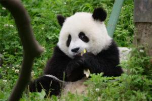 Panda WenWen