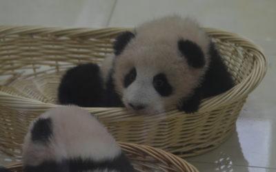 Giant Panda: Spaß und Spiel