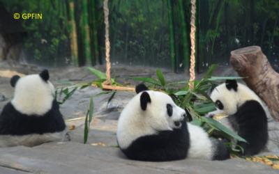 Giant Panda: Freundschaftstag